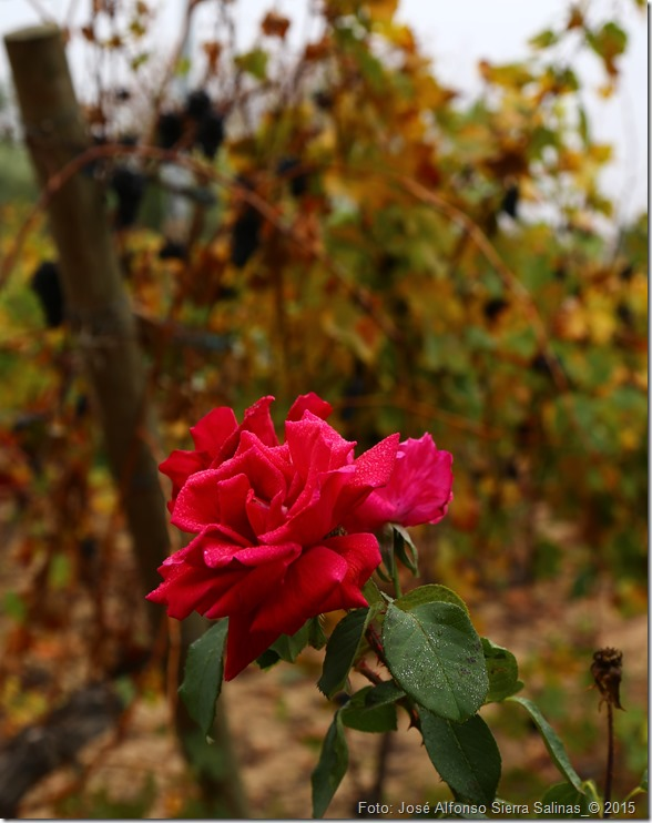 rosa de otoño